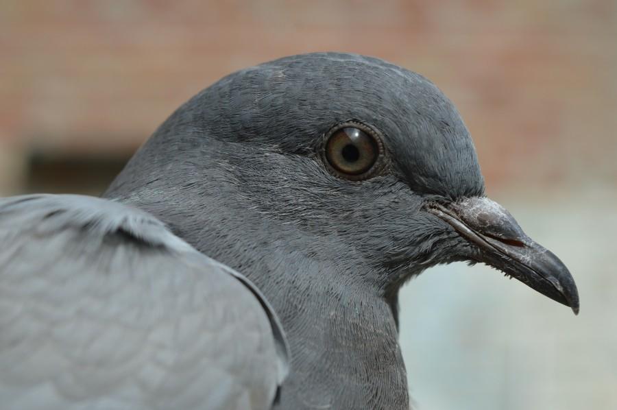 pigeon-380221_1920